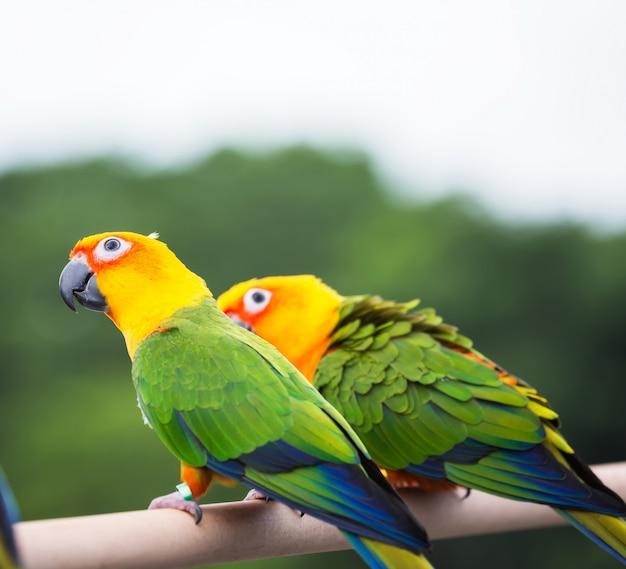 Sun conure papagei