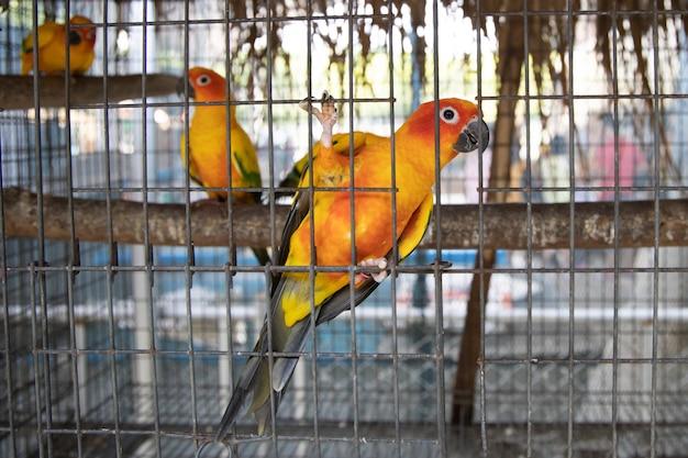 Sun conure vogel in einem käfig