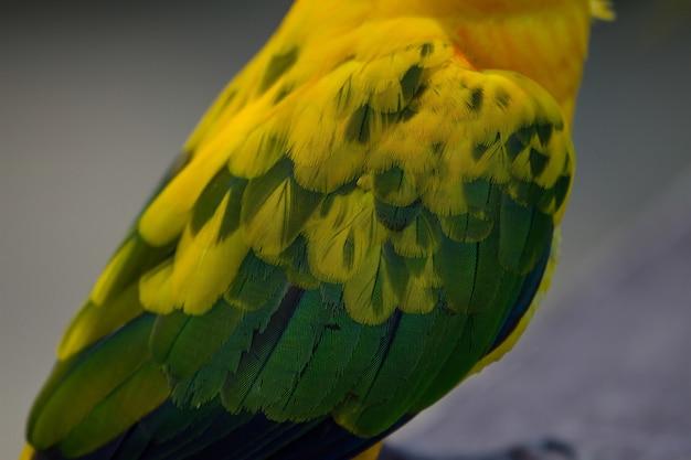 Sun-parakeet- oder sun conure-papagei, schöner gelber und orange papageienvogel