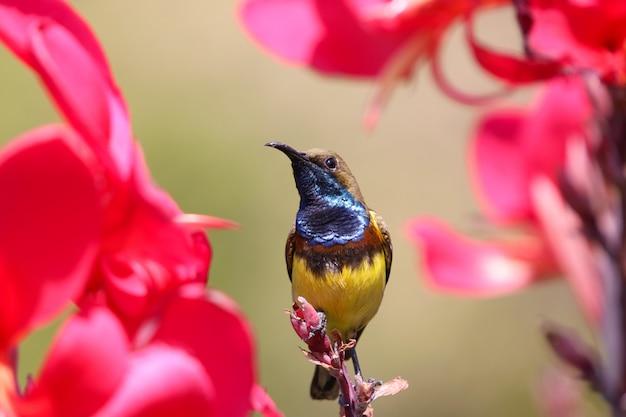 Sunbird auf roter blume