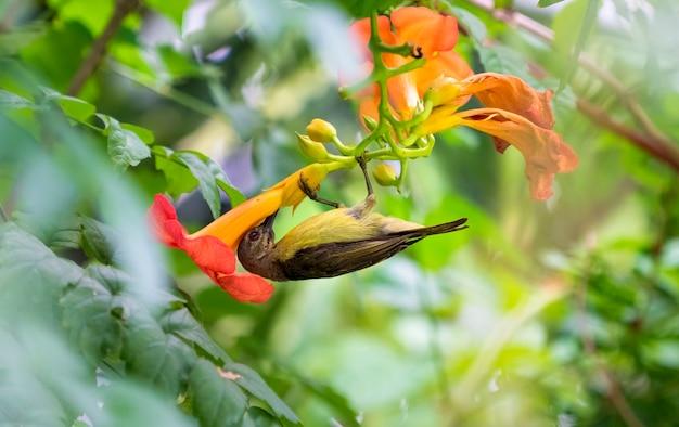 Sunbird mit olivenrücken trinkt nektar aus einem pollen bei orangenblüte. am morgen der frühlingssaison.