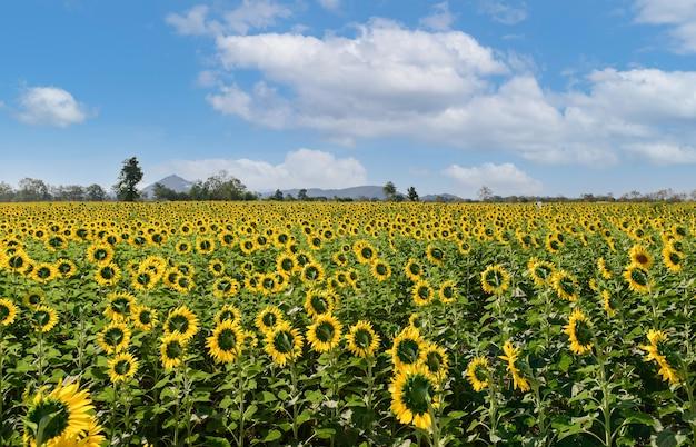 Sunflowers field back side bei lop buri. thailand, landwirtschaft und landschaftskonzept.