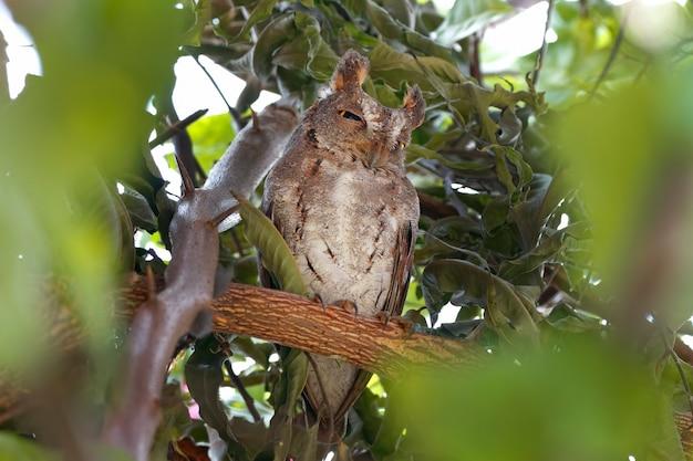 Sunia schöne scops-eule otus schöne vögel von thailand