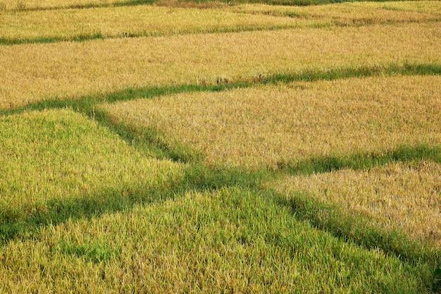 Sunny paddy field in sammanthurai von sri lanka
