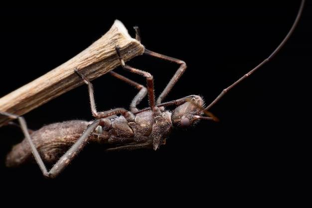 Super makro heteroptera oder wahre bugs