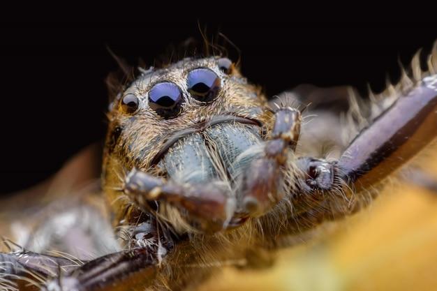 Supermakro männlicher hyllus diardi oder springende spinne