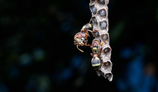 Supermakro-wespen und larven im nest