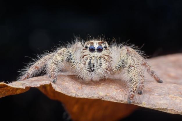 Supermakrofrau hyllus diardi oder springende spinne auf blatt