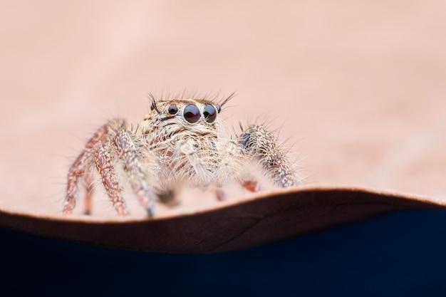 Supermakrofrau hyllus diardi oder springende spinne auf getrocknetem blatt