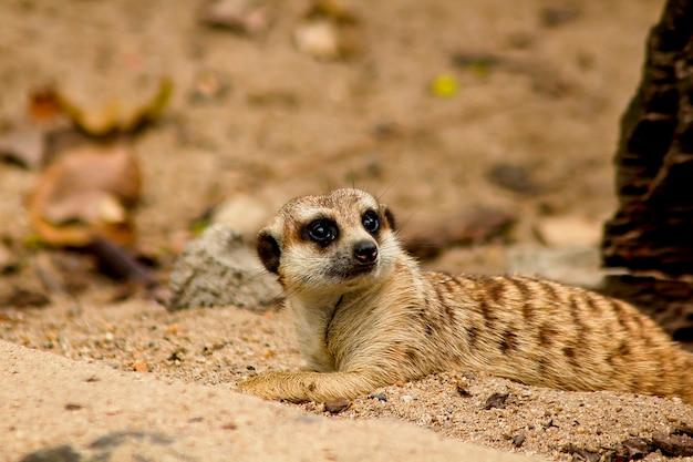 Suricata suricatta, die etwas betrachtet