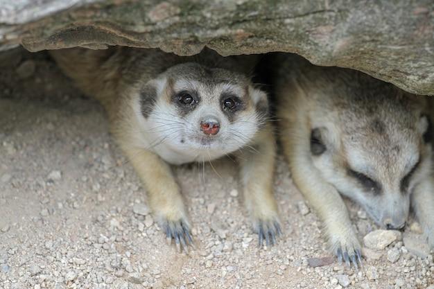 Suricata suricatta oder erdmännchen schlafen in der höhle