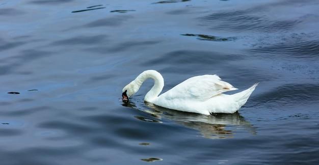 Swan see wasser sommer
