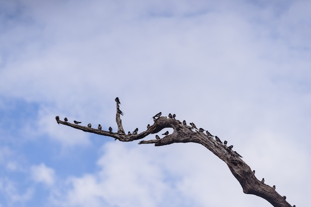 Swiftlets-vogel auf den getrockneten baumasten in hala-bala wildlife sanctuary