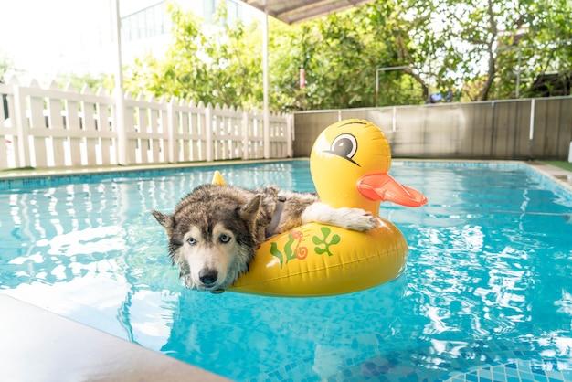 Syberien husky, der im pool mit schwimmenring schwimmt