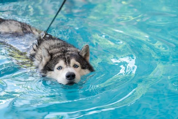Syberien husky, der im pool schwimmt