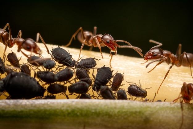 Symbiotische beziehung zwischen ameisen und schwarzen blattläusen, ultra-makrofotografie