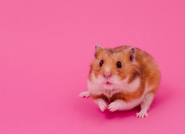 Syrischer hamster auf einem rosa hintergrund