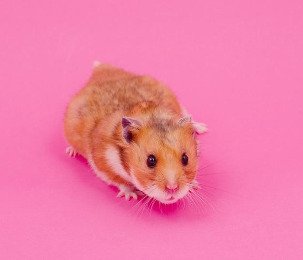 Syrischer hamster auf einem rosa