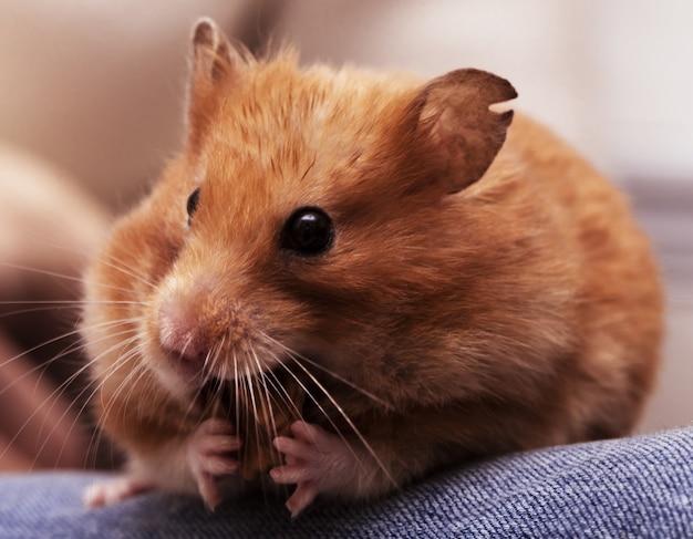 Syrischer hamster sitzt auf den knien und knabbert an der nuss