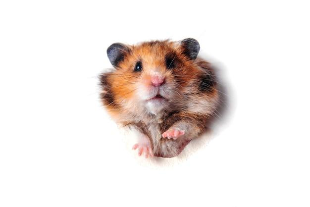 Syrischer rothaariger, flauschiger lustiger hamster nagt ein loch in einer papiernahaufnahme