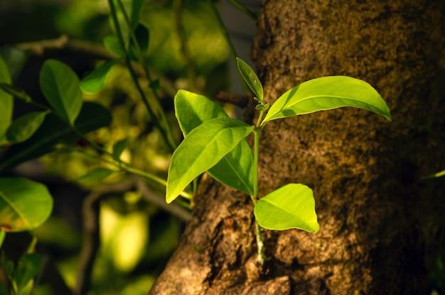 Syzygium polyanthum-triebe auf dem alten stamm mit den gebräuchlichen namen indisches lorbeerblatt und indonesisches lorbeerblatt sind eine pflanzenart aus der familie der myrtaceae, die traditionell als lebensmittelaroma verwendet wird.