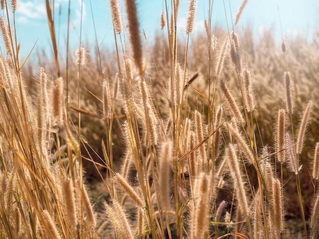 Szenisch von natürlicher brauner grasblume, die im sommer mit dem wind auf der wiese weht.