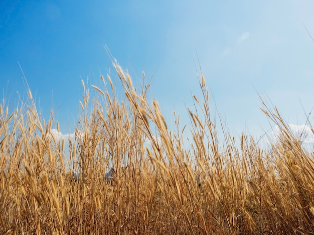 Szenisch von natürlicher gelber grasblume, die im sommer mit dem wind auf der wiese auf blauem himmelshintergrund weht.