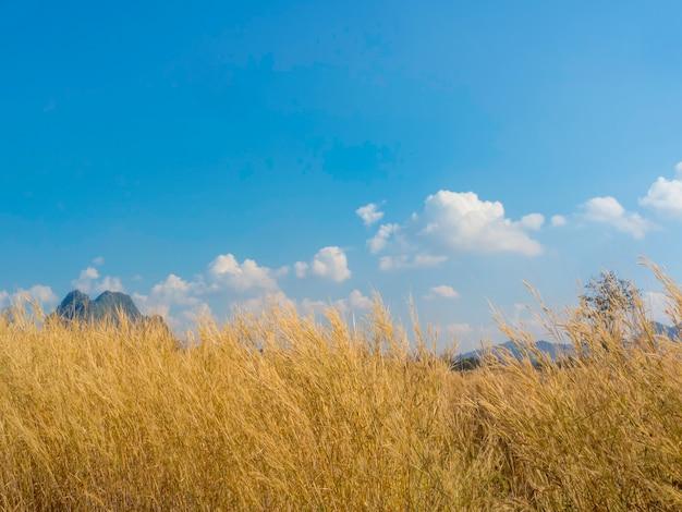 Szenisch von natürlicher goldener grasblume, die im sommer mit dem wind auf der wiese auf blauem himmelshintergrund weht.