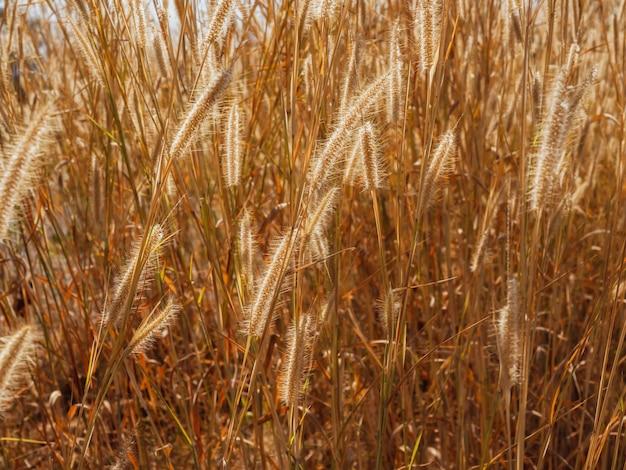Szenisch von natürlicher goldener grasblume, die im sommer mit dem wind auf der wiese weht.
