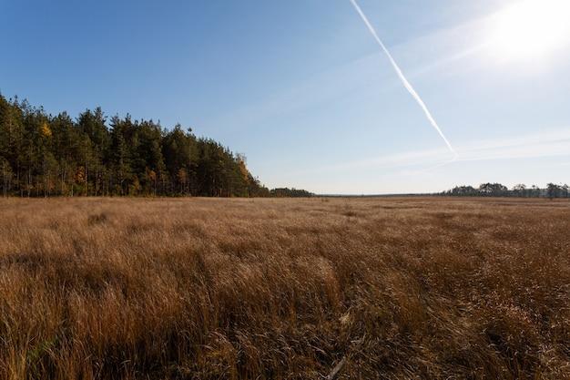 Szenischer herbstnaturhintergrund mit der gelben wiese und einem kiefernwald an einem sonnigen tag.