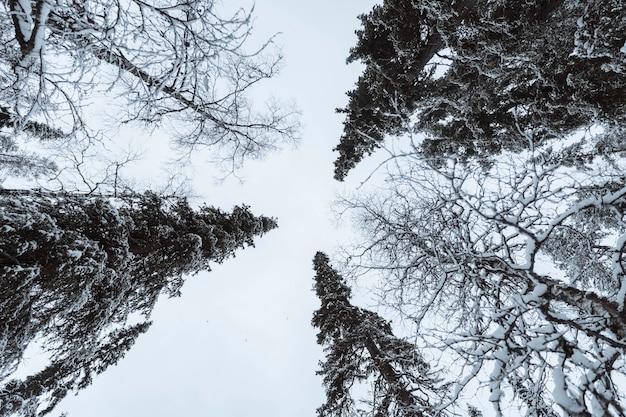 Szenischer kiefernwald bedeckt mit schnee am oulanka-nationalpark, finnland
