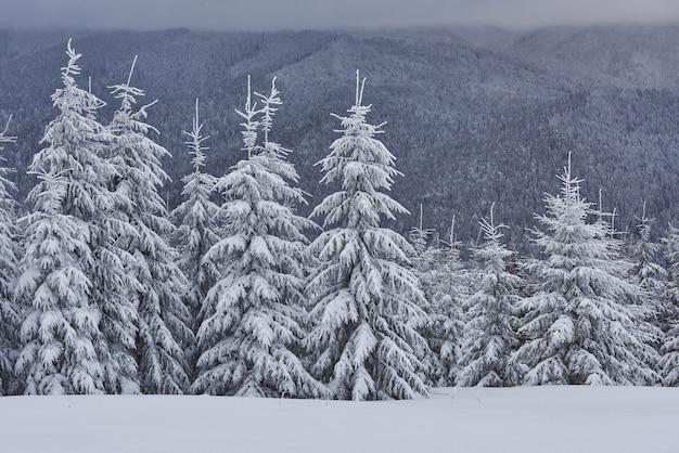 Szenisches bild des fichtenbaums. frostiger tag, ruhige winterszene.