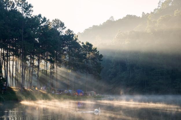 Szenisches kiefernwaldsonnenlicht glänzen mit schwan auf nebelreservoir am morgen am stechenden oung