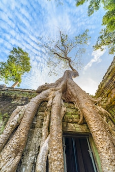 Ta prohm berühmte dschungelbaumwurzeln, die angkor tempel umfassen