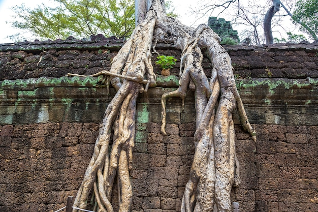 Ta prohm tempel ruinen in angkor wat in siem reap