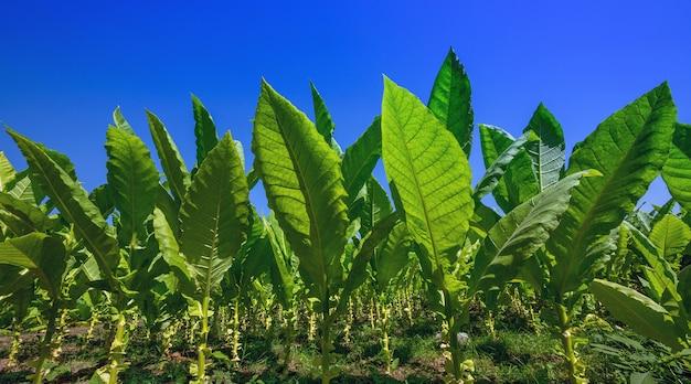 Tabak in den parzellen, die auf die ernte warten.