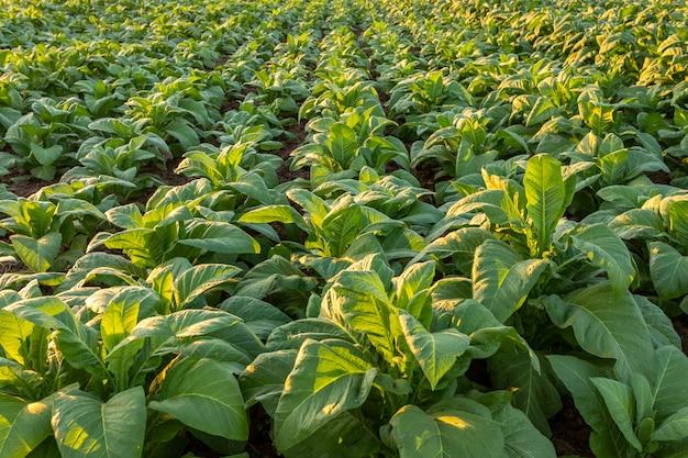 Tabakfeld, große blattfrüchte des tabaks, die auf dem tabakplantagengebiet wachsen.
