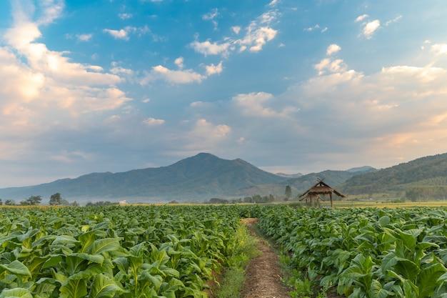 Tabakfeld und hütte mit schönem gebirgshügelhintergrund, landwirtschaft in der landschaft