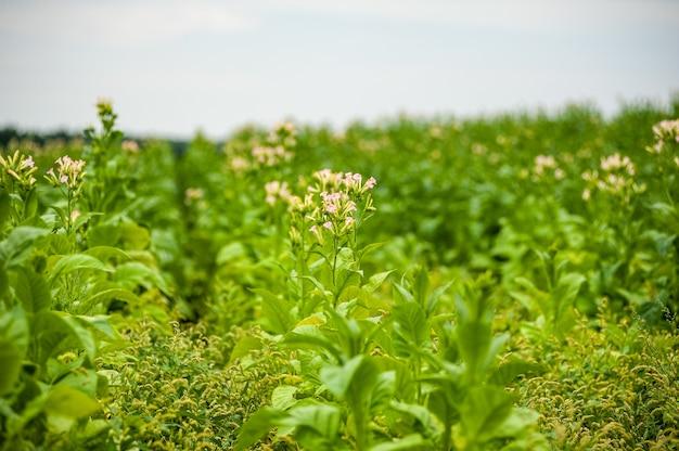 Tabakplantage auf dem feld wächst