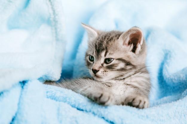 Tabby graues kätzchen, das ruht. katzenkind säugetier tier haustier mit interessiertem gesichtsausdruck vor der kamera. kleines graues kätzchen zu hause auf blauem kariertem hintergrund der farbe.