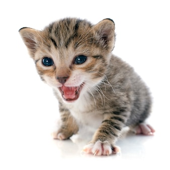 Tabby kätzchen