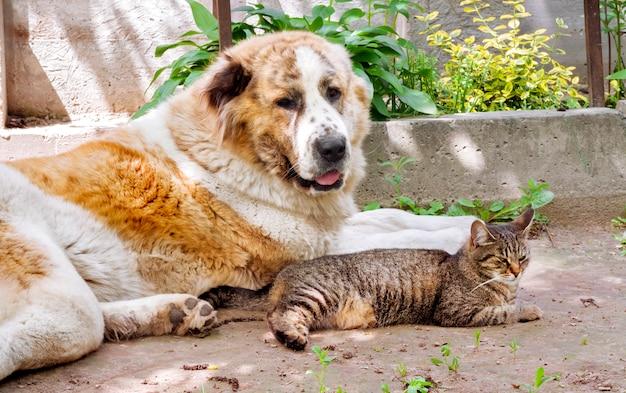 Tabby-katze und alabai-hund (zentralasiatischer schäferhund) liegen auf boden