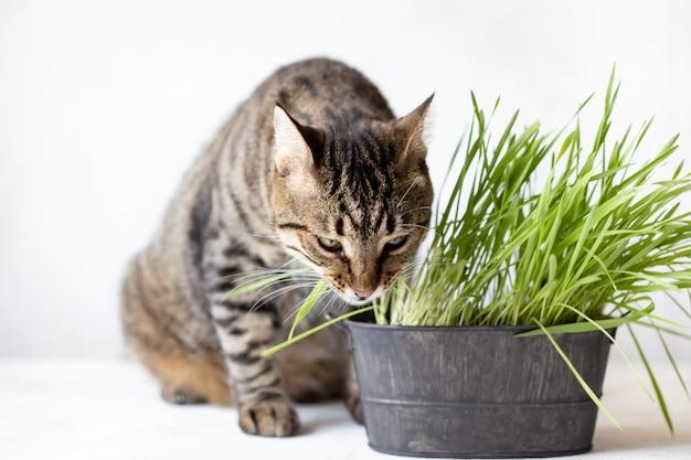 Tabbykatze isst frisches grünes gras. katzengras. nützliches futter für tiere