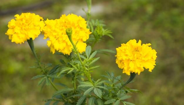 Tagete-garten blüht, gelbe knospennahaufnahme auf unscharfem hintergrund