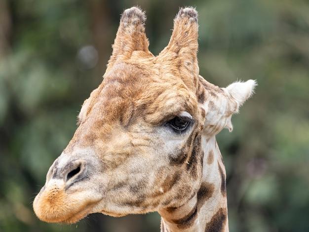 Tagsüber eine giraffe (giraffa camelopardalis)