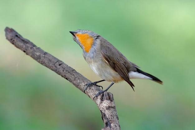 Taiga flycatcher ficedula parva schöne männliche vögel von thailand