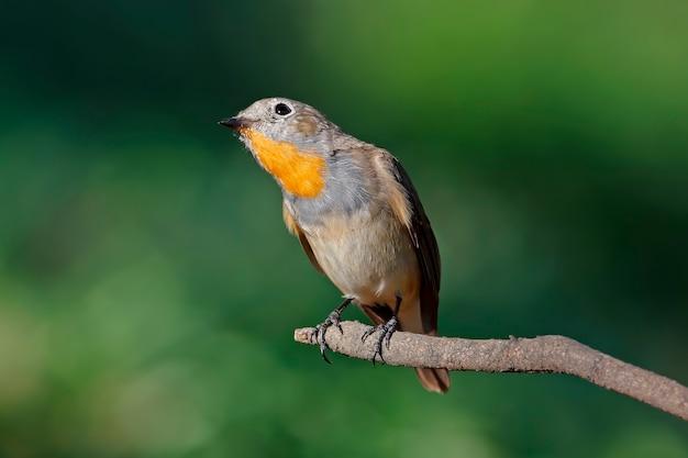 Taiga-schnäpper ficedula parva schöne männliche vögel von thailand