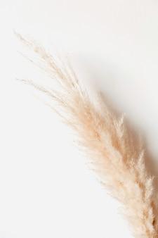 Tan pampa graszweig auf weißer oberfläche