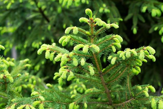 Tannen-blautannen-kanadier, weihnachtstannenweiß