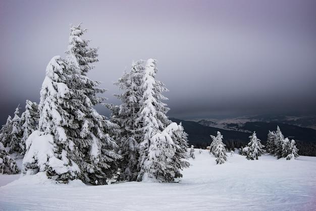 Tannen, die im wind im schnee schwanken, stehen bei nebligem kaltem wetter auf einem schneebedeckten hang